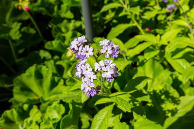 Heliotrope or Cherry Pie Plant (Heliotropium). Sunken Garden. Butchart Gardens - Brentwood Bay, BC, Canada