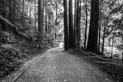 Coast Redwoods (Sequoia sempervirens). Skyline-to-the-Sea Trail. Big Basin State Park, CA, USA