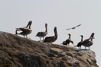 Brown Pelican (Pelecanus occidentalis) and Brandt's Cormorant (Phalacrocorax penicillatus). Santa Cruz, CA, USA