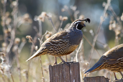California Quail (Callipepla californica). Santa Cruz, CA, USA
