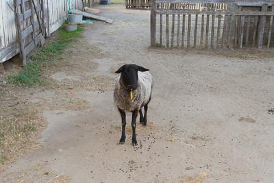 Lamb. Wilder Ranch State Park - Santa Cruz, CA, USA