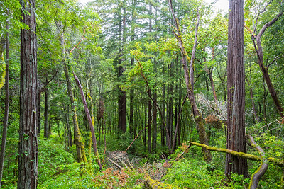 Coast Redwood (Sequoia sempervirens) Forest. Bennett Creek Trail. Fall Creek Unit of Henry Cowell Redwoods State Park, CA, USA