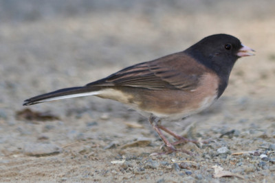 Oregon Junco. Mount Diablo State Park - California, USA