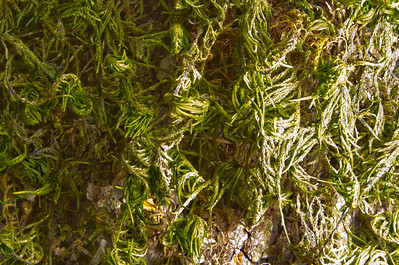 Moss. Focus Stacked. Castle Rock State Park - California, USA