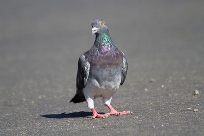 Rock Pigeon (Columba livia). Santa Cruz, CA, USA
