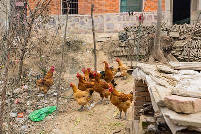 Chicken. Hefei, Anhui, China (合肥,安徽,中国)