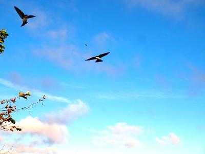 Tree Swallow (Tachycineta bicolor). Coyote Hills Regional Park - Fremont, CA