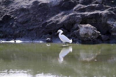 Snowy Egret (Egretta thula). Coyote Hills Regional Park - Fremont, CA, USA