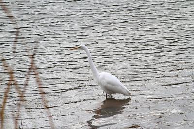Snowy Egret (Egretta thula). Del Valle Regional Park - Livermore, CA, USA