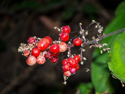 Berries. Lake Chabot Regional Park - Castro Valley, CA, USA