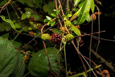 Wild Blackberries. Lake Chabot Regional Park - Castro Valley, CA, USA