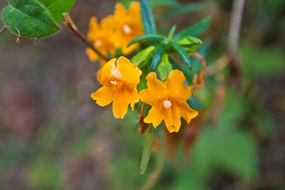 Sticky monkeyflower (Mimulus aurantiacus). Lake Chabot Regional Park - Castro Valley, CA, USA
