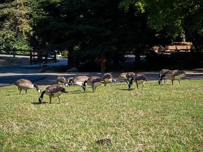 Canada Geese (Branta canadensis). Lake Chabot Regional Park - Castro Valley, CA, USA