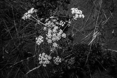 Yarrow (Achillea millefolium). West Shore Trail. Lake Chabot Regional Park - Castro Valley, CA, USA