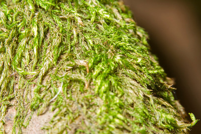 Macro of moss on a tree. Lake Chabot Regional Park - Castro Valley, CA, USA