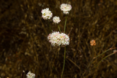 Flowers. East Shore Trail. Lake Chabot Regional Park - Castro Valley, CA, USA