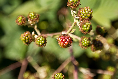 Blackberries. Lake Chabot Regional Park - Castro Valley, CA, USA