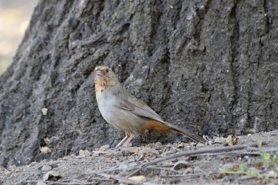 California Towhee (Pipilo crissalis). Lake Chabot Regional Park - Castro Valley, CA, USA