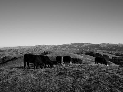 Cows. Near Ridgeline Trail. Pleasanton Ridge Regional Park - Sunol, CA, USA