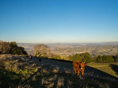 Cows. Pleasanton, Livermore, and Altamont Pass. Near Ridgeline Trail. Pleasanton Ridge Regional Park - Sunol, CA, USA