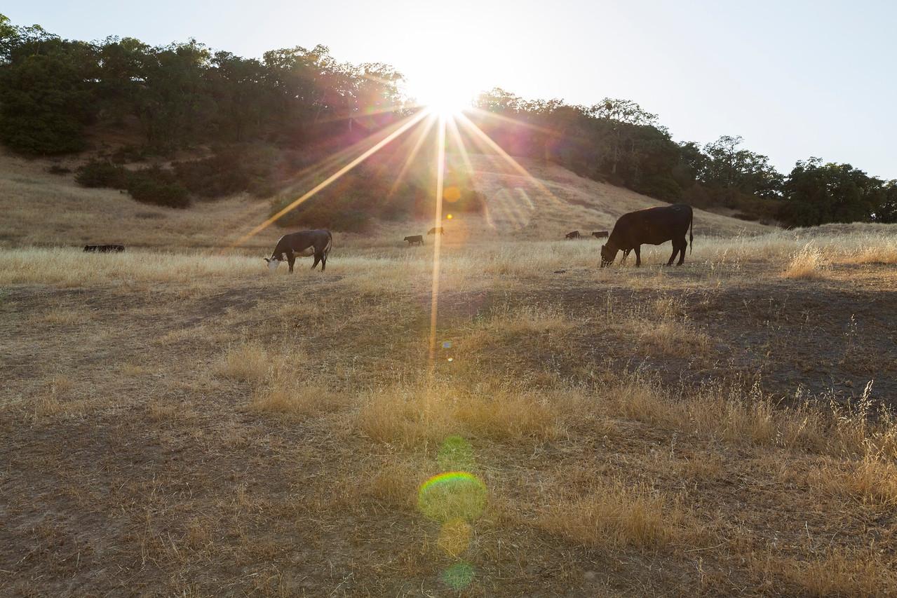 Sunset. Cows. Pleasanton Ridge Regional Park - Sunol, CA, USA
