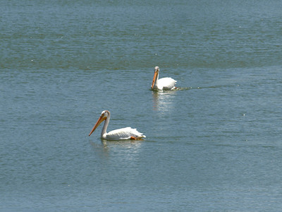 American White Pelican (Pelecanus erythrorhynchos). Quarry Lakes Regional Park - Fremont, CA