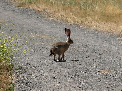Jackrabbit (Lepus). Quarry Lakes Regional Park - Fremont, CA