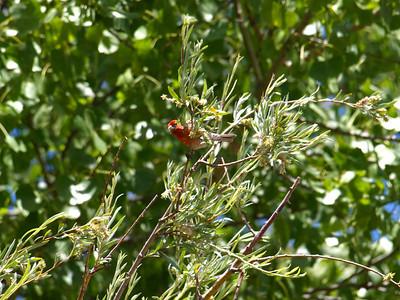 House Finch (Carpodacus mexicanus). Quarry Lakes Regional Park - Fremont, CA