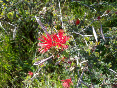 Paintbrush (Castilleja). Quarry Lakes Regional Park - Fremont, CA, USA
