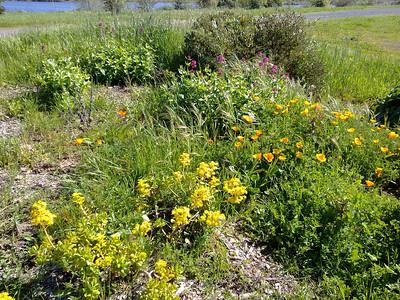 Yellow bush lupine (Lupinus arboreus). Quarry Lakes Regional Park - Fremont, CA, USA