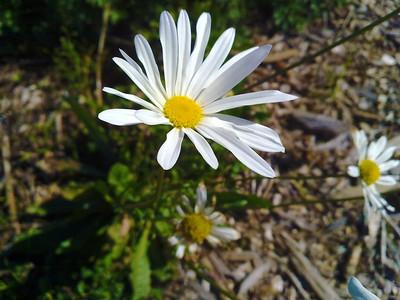 Field chickweed (Cerastium arvense). Quarry Lakes Regional Park - Fremont, CA, USA