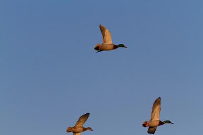Mallard Ducks (Anas platyrhynchos). Quarry Lakes Regional Park - Fremont, CA, USA