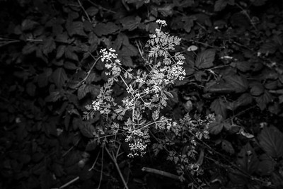 Yarrow (Achillea millefolium). Redwood Regional Park - Oakland, CA, USA