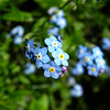Forget-me-nots (Myosotis latifolia). Forget-me-nots (Myosotis latifolia). Redwood Regional Park - Oakland, CA, USA