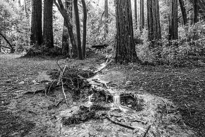 Coast Redwood (Sequoia sempervirens) & Water From Rainstorms. Stream Trail. Redwood Regional Park - Oakland, CA, USA