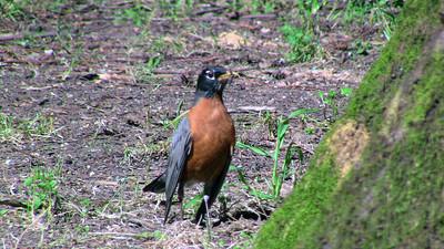 American Robin (Turdus migratorius). Redwood Regional Park - Oakland, CA, USA