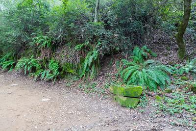Wall Of Ferns. West Ridge Trail Trail. Redwood Regional Park - Oakland, CA, USA