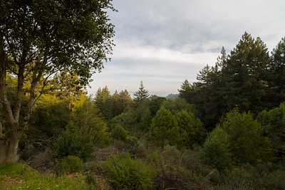 Forest & Coast Redwood (Sequoia sempervirens). West Ridge Trail Trail. Redwood Regional Park - Oakland, CA, USA
