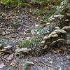 Turkey Tail Mushroom (Trametes versicolor). Redwood Regional Park - Oakland, CA, USA