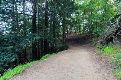 Coast Redwood (Sequoia sempervirens). West Ridge Trail Trail. Redwood Regional Park - Oakland, CA, USA