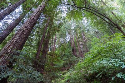 Coast Redwood (Sequoia sempervirens). Stream Trail. Redwood Regional Park - Oakland, CA, USA