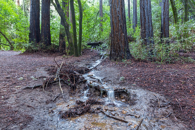 Coast Redwood (Sequoia sempervirens) & Water From Rainstorms. Stream Trail. Redwood Regional Park - Oakland, CA, USA