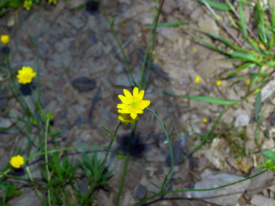 California buttercup (Ranunculus californicus) . Redwood Regional Park - Oakland, CA, USA