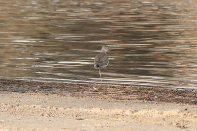 Long-billed Dowitcher (Limnodromus scolopaceus). Shadow Cliff Regional Park - Pleasanton, CA, USA