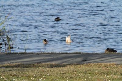 Mallard Duck (Anas platyrhynchos). Shadow Cliff Regional Park - Pleasanton, CA, USA