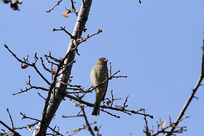 Female House Finch (Carpodacus mexicanus). Shadow Cliffs Regional Park - Pleasanton, CA, USA