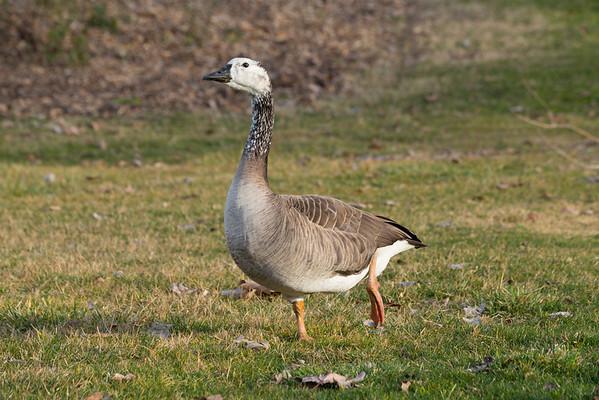 Goose. Shadow Cliffs Regional Park - Pleasanton, CA, USA