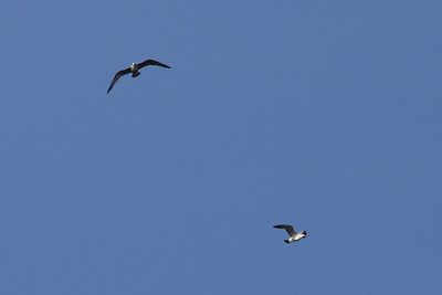 Seagull. Shadow Cliff Regional Park - Pleasanton, CA, USA