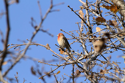 Male House Finch (Carpodacus mexicanus). Shadow Cliffs Regional Park - Pleasanton, CA, USA