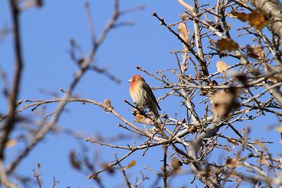 Male House Finch (Carpodacus mexicanus). Shadow Cliff Regional Park - Pleasanton, CA, USA